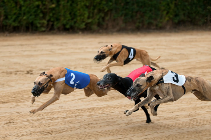 Britische Glücksspielkonzerne unterstützen Windhunde